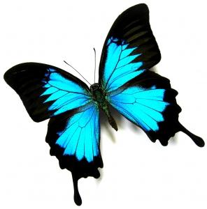Butterfly Blue L