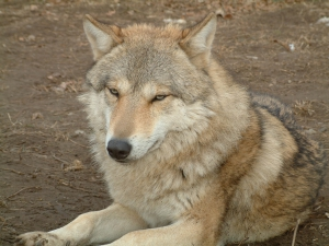 idling-wolf-1521558