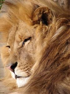 lion-1404498-1599x2132