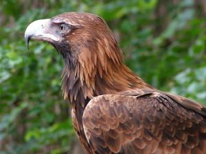 wedge-tailed-eagle-1525444