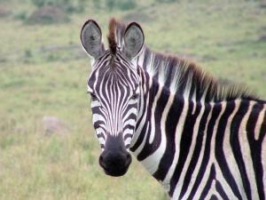 zebra-1472159