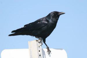 crow-1400410